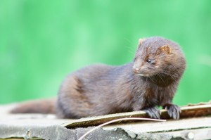 American Mink Picture