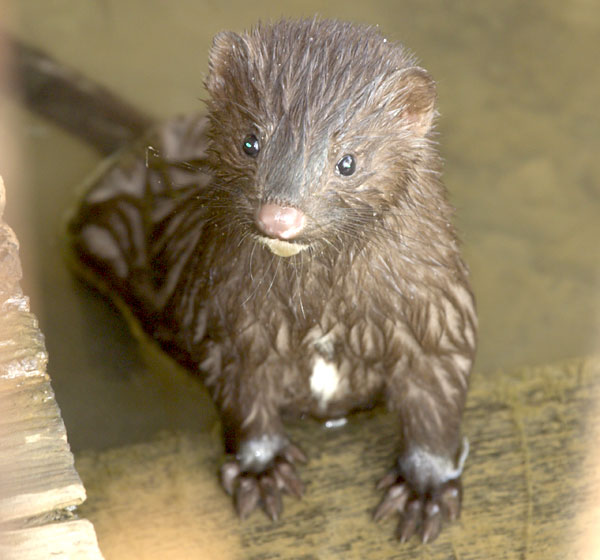 23000866db5 American Mink - Facts, Habitat, Pictures, Predators, Diet and ...