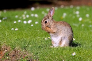 European Rabbit Image