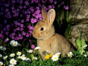 European Rabbit Image 3