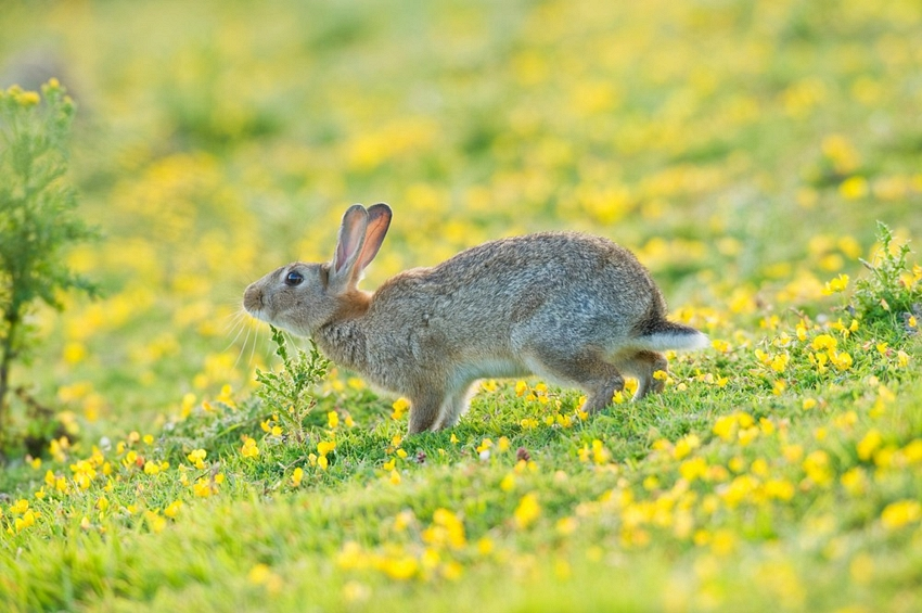 European Rabbit Facts Habitat Distribution Pictures