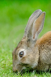 European Rabbit Diet Image