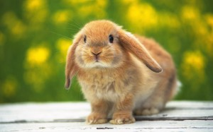 European Rabbit Kitten Image