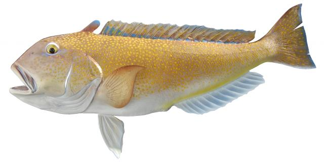 Image result for Tilefish  fish