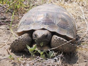 Gopher Tortoise images