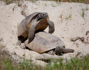 pictures of Gopher Tortoise
