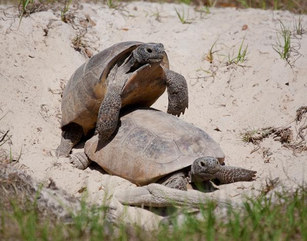Gopher Tortoise - Description, Life Span, Reproduction, Habitat ...