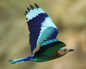 Indian Roller photos