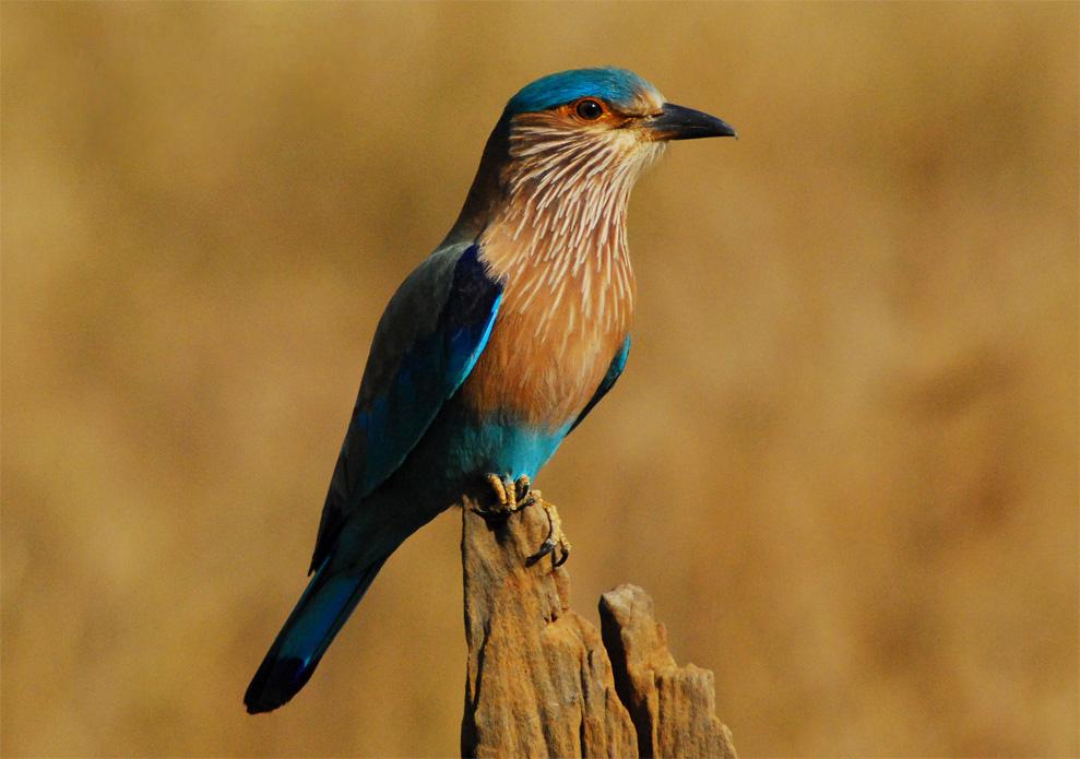 Indian Roller Behavior Facts Diet Types Habitat Lifespan And