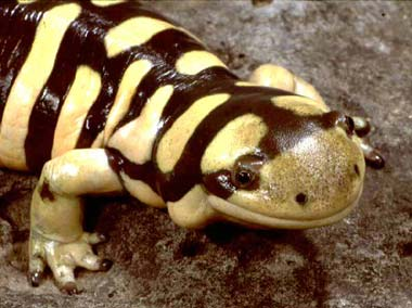 Photos of Tiger Salamander