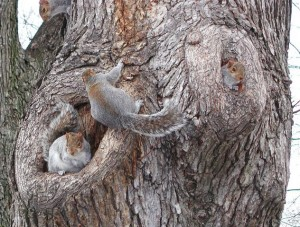photo oh eastern gray squirrel