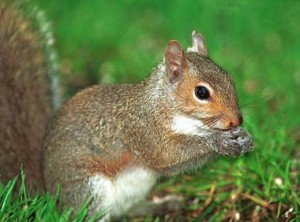 picture of eastern gray squirrel