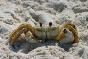Ghost Crab images