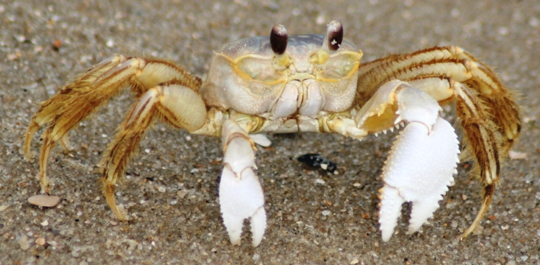 pictures of Ghost Crab