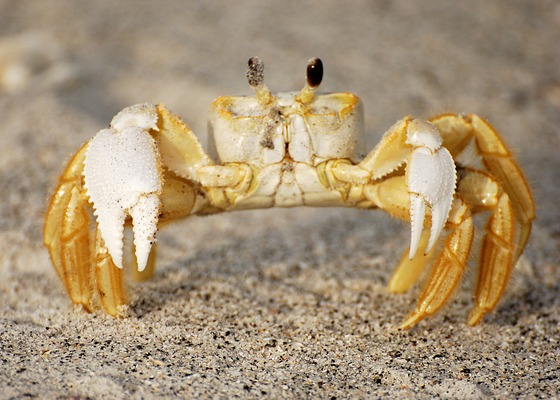 Ghost Crab Internal Anatomy Diagram - Auto Electrical Wiring Diagram •