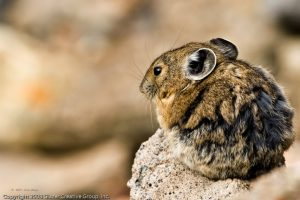 American Pika Photos
