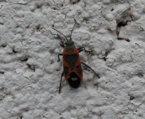 Photos of Boxelder Bug