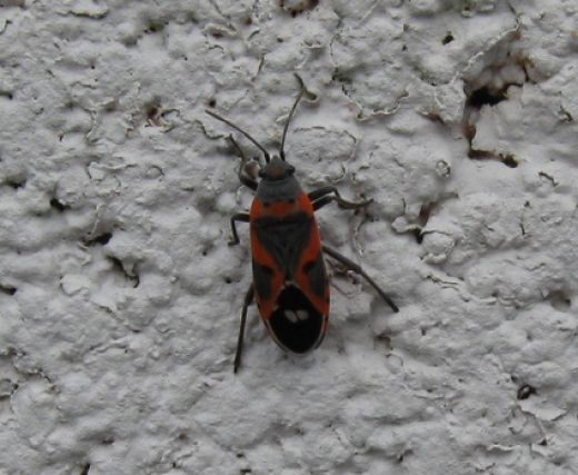 Boxelder Bug Management Habitat Size Life Span Pictures And