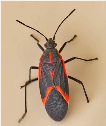 Natural Remedies To Get Rid Of Boxelder Bugs
