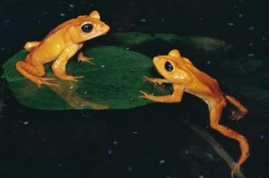 pictures of Golden Toad