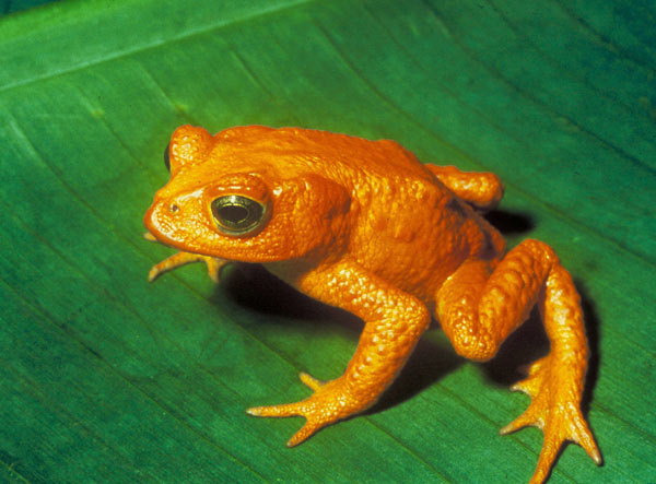 Golden Toad Images