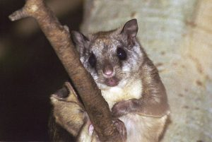 NORTHERN FLYING SQUIRREL PICTURE