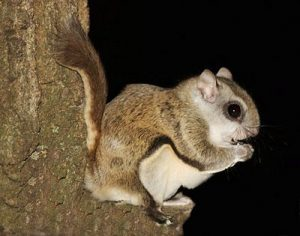 NORTHERN FLYING SQUIRREL EATING PICTURE