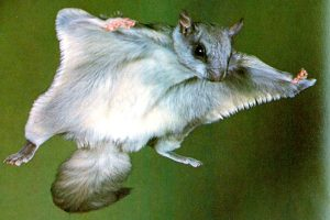 NORTHERN FLYING SQUIRREL IN FLYING