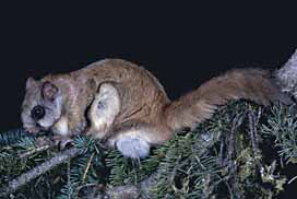 NORTHERN FLYING SQUIRREL ON TREE PICTURE