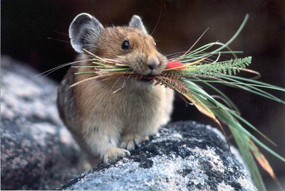american pika facts diet habitat and reproduction