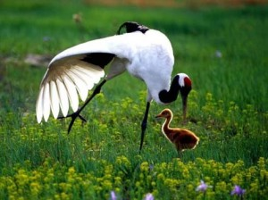 RED CROWNED CRANE WITH YOUNG ONE PICTURE