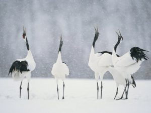 RED CROWN CRANE CALLING IN UNISON