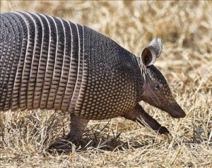 picture of nine banded armadillo