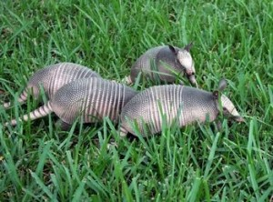 photos of nine banded armadillo