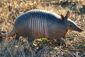 image of nine banded armadillo