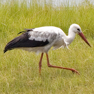 photos of white stork