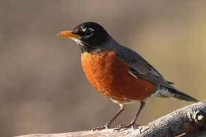 Images of American Robin