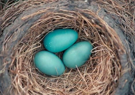 Red Robin Bird Eggs