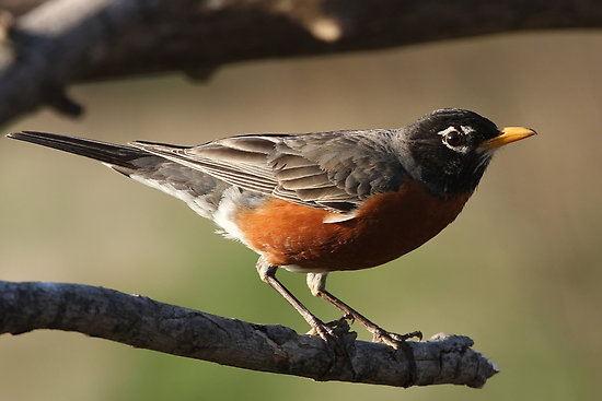 American Robin American Robin Bird