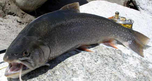Picture of Arctic Char