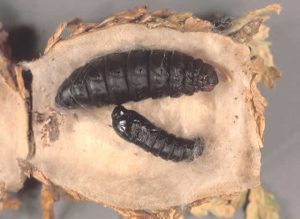 Images of Bagworm