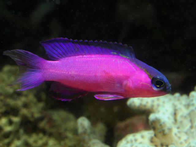 Basslet for Kind of fish