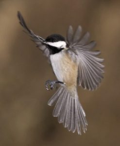 Picture of Black Capped Chickadee