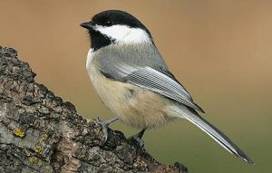 Image of Black Capped Chickadee