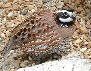 Picture of Bob White Quail