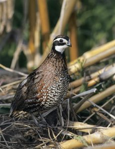 Photo of Bob White Quail