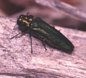 Pictures of Borer