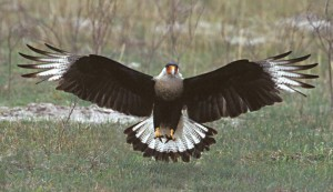 Images of Crested Caracara