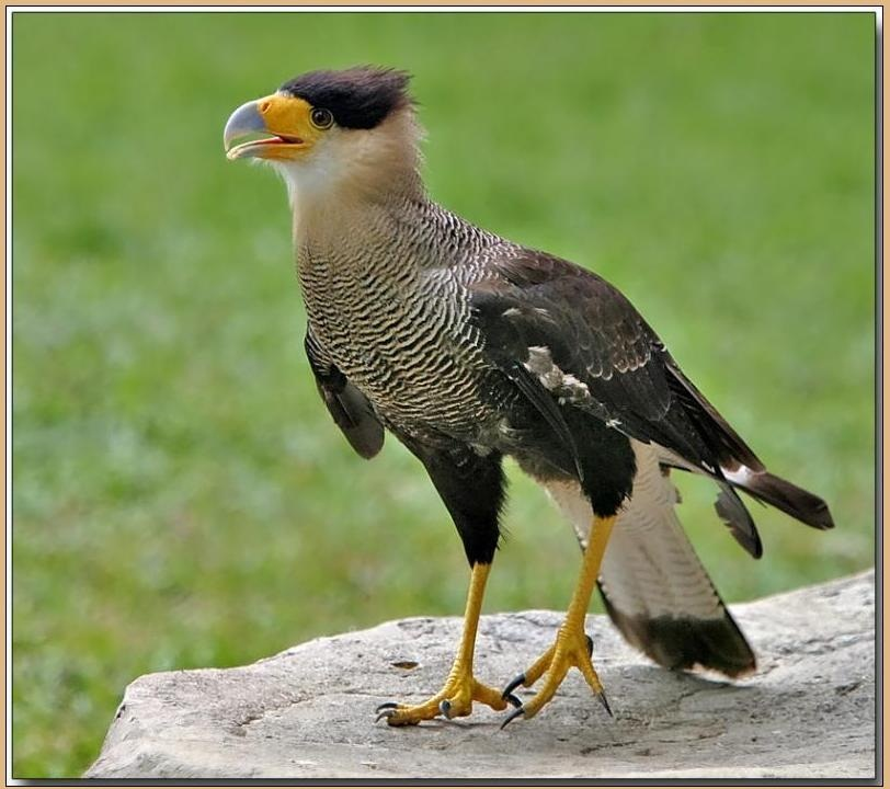 Pictures of Crested Caracara