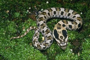 Eastern Hognose Snake Moving